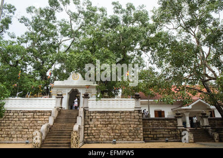 Am Heiligen Bo, Bodhi, Baum, Tempel, buddhistische, Anuradhapura, Sri Lanka, Asien. - Stockfoto