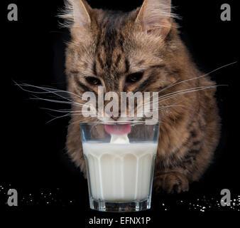 Eine seltene Munchkin Katzenrasse Trinkmilch vor schwarzem Hintergrund - Stockfoto