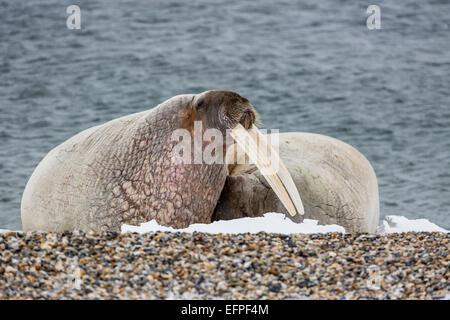 Erwachsenen Bull atlantische Walross (Odobenus Rosmarus Rosmarus) am Strand in Torellneset, Nordauslandet, Spitzbergen, - Stockfoto