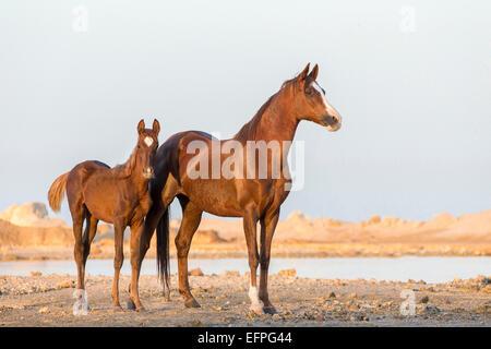 Arabian Horse Chestnut Stute Fohlen stehen die Wüste Ägypten - Stockfoto