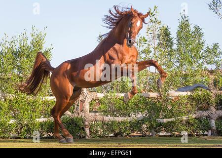 Arabian Horse Chestnut Hengst Aufzucht Weide-Ägypten - Stockfoto