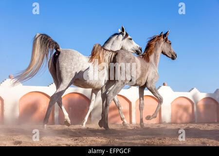 Arabisches Pferd grau Stute Fohlen traben Fahrerlager Ägypten - Stockfoto