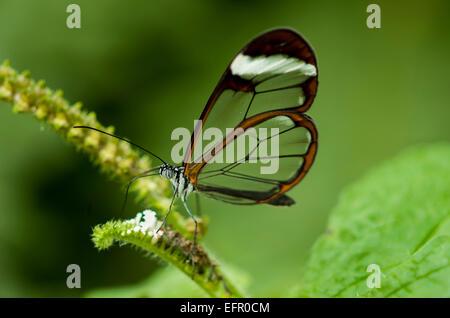 Glas geflügelte tropischer Schmetterling, Greta Oto, Fütterung auf unbekannte Pflanze - Stockfoto