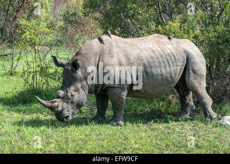 Weißer Rhinoceros (Ceratotherium Simum) mit rot-billed Oxpeckers (Buphagus Erythrorhynchus), Krüger Nationalpark, - Stockfoto