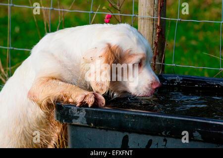 Clumber Spaniel Welpen auf die Hinterbeine Trinken von Wasser durch - Stockfoto