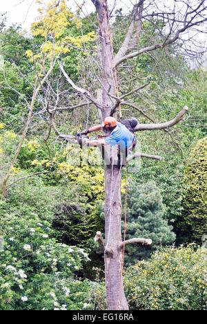 Baumpfleger ein toter Baum Zweige entfernen - Stockfoto