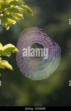 Kondensierte Wasser Tautropfen gefangen an feine Stränge Spinnennetz mit Lichtstrahlen zerlegt und verteilt - Stockfoto