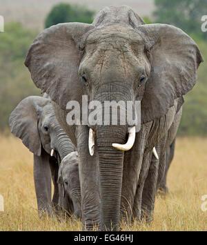 Afrikanischer Elefant (Loxodonta Africana) Zucht Herde unter der Leitung von Matriarchin. Masai Mara Kenia Afrika - Stockfoto