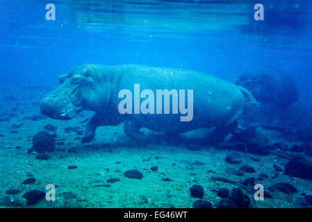 Flusspferd (Hippopotamus Amphibius) Unterwasser Mzima Springs Tsavo West Nationalpark Kenia. Gefährdete Arten. - Stockfoto