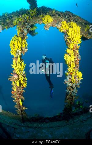Scuba Diver gelbe Schwämme (Aplysina Cavernicola) auf Brioni Dampfschiff Wrack Vis Insel Kroatien Adria Mittelmeer. - Stockfoto