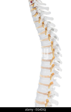 Anatomie der zervikalen Wirbelsäule Region zeigt Halswirbel ...
