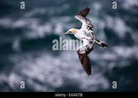 Basstölpel (Sula Bassana) im Flug; Orkney Schottland, Vereinigtes Königreich - Stockfoto