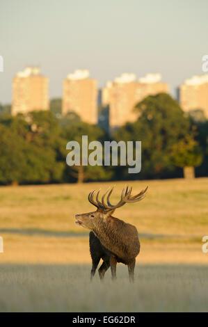 Rothirsch (Cervus Elaphus) Hirsch brüllen, Spurrinnen Saison, Roehampton Wohnungen im Hintergrund, Richmond Park, - Stockfoto