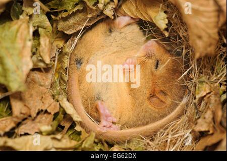 Haselmaus (Muscardinus Avellanarius), Kent, UK. Kent Säugetier Gruppe Mitglieder monatliche Siebenschläfer Umfrage, - Stockfoto
