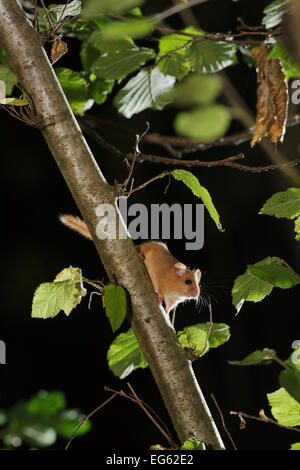 Hasel Haselmaus (Muscardinus Avellanarius) im Niederwaldbetrieb Haselnuss Baum, Kent, UK. Fotografiert in Natur - Stockfoto