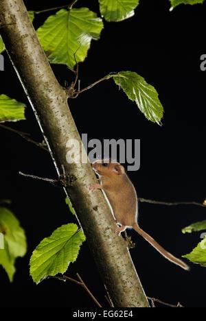 Hasel Haselmaus (Muscardinus Avellanarius) läuft bis Zweig im Niederwaldbetrieb Haselnuss Baum, Kent, UK. Fotografiert - Stockfoto