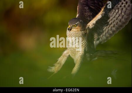 Eine Erwachsene weibliche Sperber (Accipiter Nisus) Landung auf einem Kragen Taube Kill in einem Garten, Derbyshire, - Stockfoto