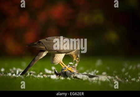 Erwachsene weibliche Sperber (Accipiter Nisus) ernähren sich von einem Kragen Taube Kill in einem Garten, Derbyshire, - Stockfoto