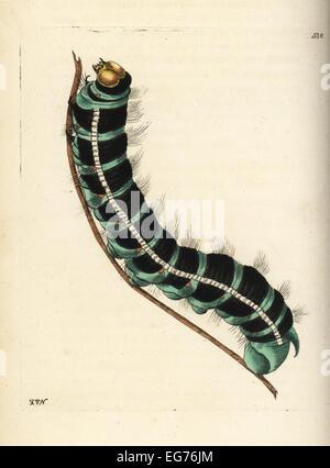 Weiße Hexe Falter Raupe, Thysania Agrippina (Agrippina Schmetterling, Phalaena Agrippina). - Stockfoto