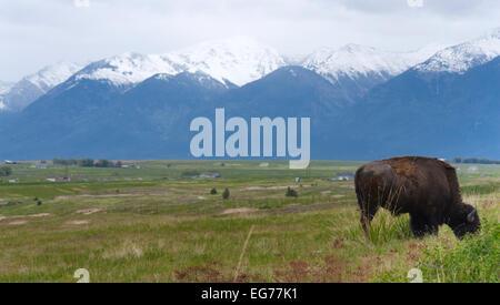 Ein Büffel grasen vor der Mission Berge, Montana - Stockfoto