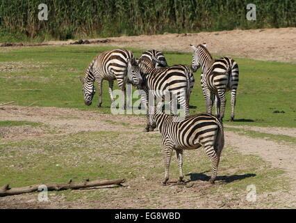 Gruppe von 5 Grant-Zebras (Equus Quagga Boehmi) - Stockfoto