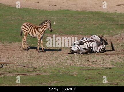Reife Grant Zebra (Equus Quagga Boehmi) auf den Rücken Rollen und Staub baden, Fohlen junge stehend - Stockfoto