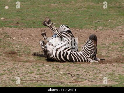 Ältere männliche Grant-Zebra (Equus Quagga Boehmi) auf den Rücken Rollen und Staub baden - Stockfoto