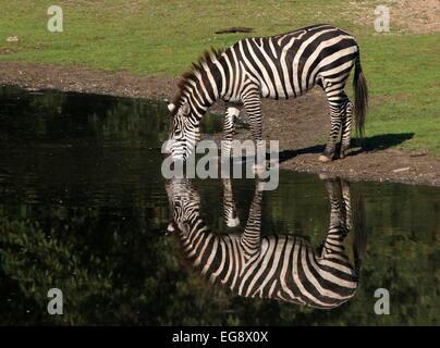 Einsame Grant-Zebra (Equus Quagga Boehmi) trinken an einer Wasserstelle im Wasser gespiegelt - Stockfoto