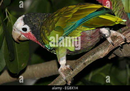 Kubanische Amazon Parrot, aka Rose throated Papageien (Amazona Leucocephala) in eine feurige pose - Stockfoto