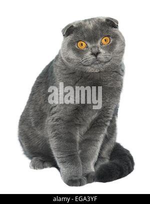 scottish fold katze rasse mit orangefarbenen augen liegt auf einer fensterbank stockfoto bild. Black Bedroom Furniture Sets. Home Design Ideas