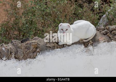 Portugal Algarve Albuferia, weiße Katze an Wand schlafen und entspannen - Stockfoto