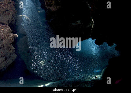 Schule der Ährenfischartige Formen in den Tunneln im Eden Rock, Grand Cayman. - Stockfoto