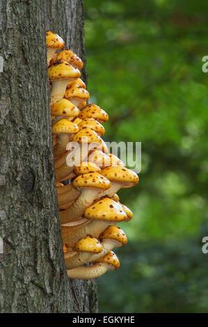 Golden Scalycap Fliegenpilze (Pholiota Aurivella) auf Buche - Stockfoto