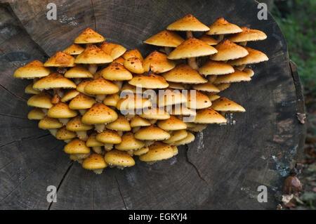 Golden Scalycap Fliegenpilze (Pholiota Aurivella) auf Baumstamm Buche - Stockfoto