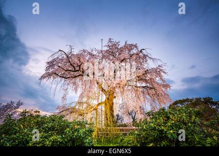 Kirschbl ten in kyoto japan stockfoto bild 16119853 alamy - Moosgarten kyoto ...