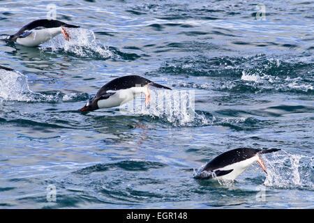 Gentoo Penguins (Pygoscelis Papua). Schwimmen im Meer. Gentoo Pinguine um Längen von 70 Zentimeter wachsen und Leben - Stockfoto