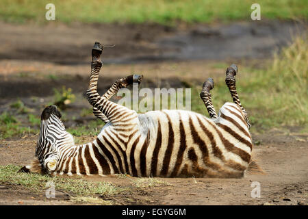 Ebenen Zebra (Equus Guagga), jung, Rollen im Sand liegend auf Rücken, Masai Mara National Reserve, Kenia - Stockfoto
