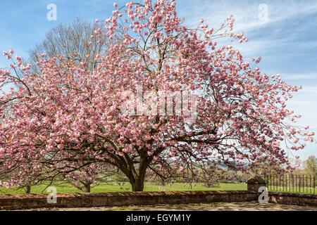Pink Cherry Blossoms-Prunus Serrulata 'Kanzan' in der Cumbrian Landschaft, Penrith, Cumbria, Lake District, England. - Stockfoto