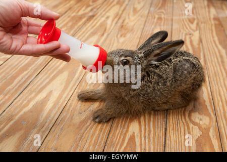 Europäischen Hase, braun Hase, Hasen, Tier-Aufzucht, Feldhase, Feld-Hase, Aufzucht, Pflege, Lepus Europaeus, Lièvre - Stockfoto