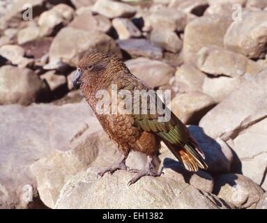 Alpine Kea Papagei, Arthurs Pass Nationalpark, Region Canterbury, Südinsel, Neuseeland - Stockfoto