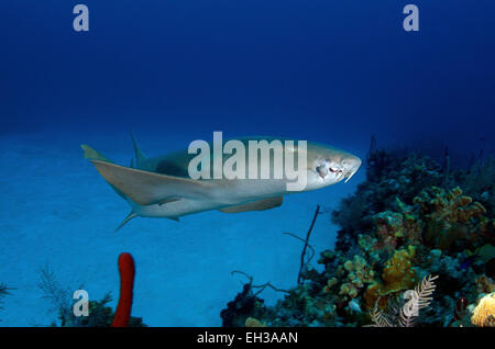 Ammenhai mit einer deformierten Lippe vom Haken, Grand Cayman, Cayman-Inseln. - Stockfoto