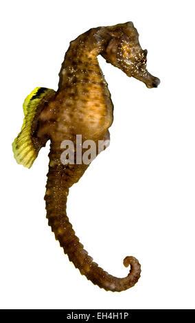 Kurz-snouted Seepferdchen - Hippocampus hippocampus - Stockfoto