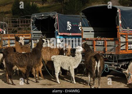 Ecuador, Cotopaxi, Zumbahua, das Dorf von Zumbahua Markttag Lamas auf dem Viehmarkt - Stockfoto