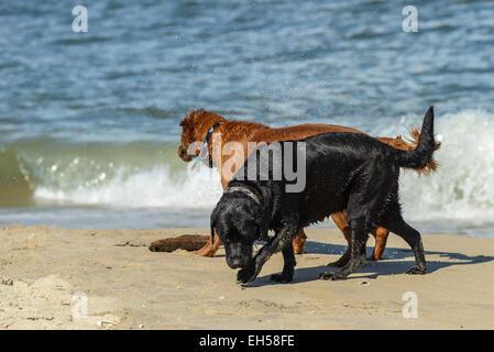 Schwarze Labrador und golden Retriever Hund am Strand mit einem Stock spielen - Stockfoto
