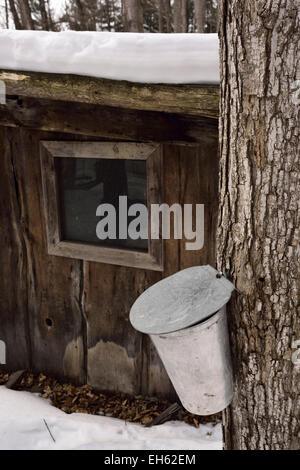 Eimer auf Zucker-Ahorn-Baum in Ontario Sugar Bush Wald sammeln Sap Sirup neben Zuckerhütte im Schnee bedeckt Wald - Stockfoto