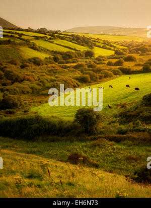 pastorale szene mit k hen und weide dingle halbinsel irland stockfoto bild 79438659 alamy. Black Bedroom Furniture Sets. Home Design Ideas