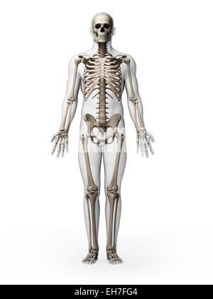 Menschliches Skelett-Systems Stockfoto, Bild: 77722863 - Alamy