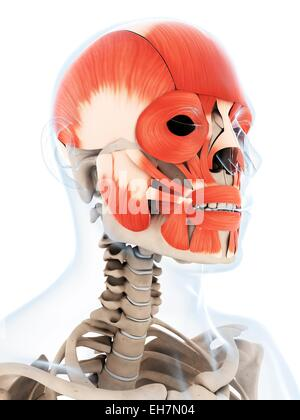 Menschlicher Schädel Muskeln, Computer Bild Stockfoto, Bild ...