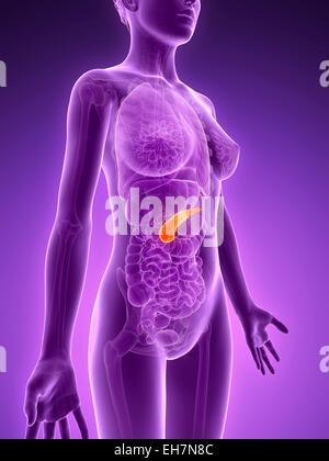 Das weibliche Hormonsystem Stockfoto, Bild: 13226931 - Alamy