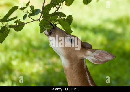 Junge weiße tailed Deer fawn Essen Blätter eines Maulbeerbaumes - Stockfoto